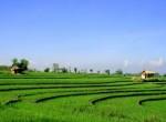 Rice terrace canggu